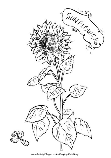 sunflowers pages for adults images pictures becuo