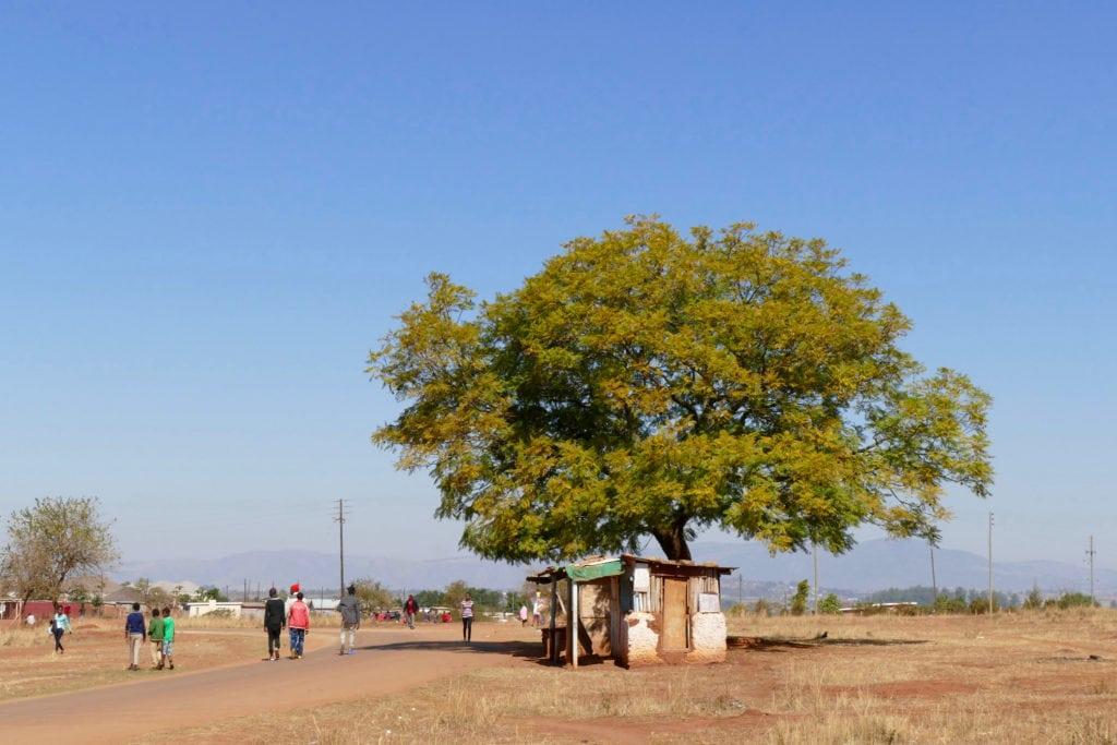 Tree Swaziland