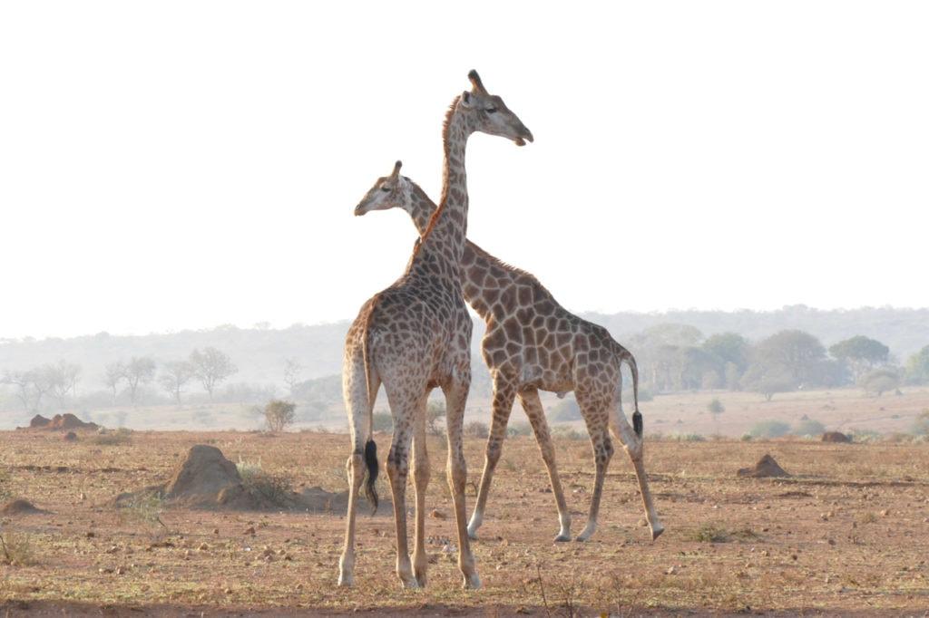 Giraffe safari HESC