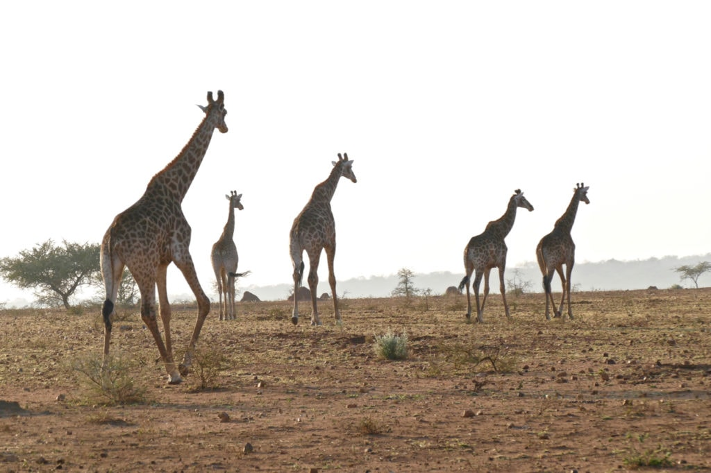 Giraffes safari South Africa