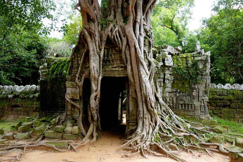 Angkor temple tree