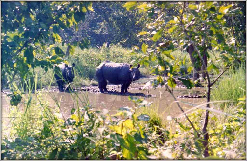 Rhinos in Chitwan