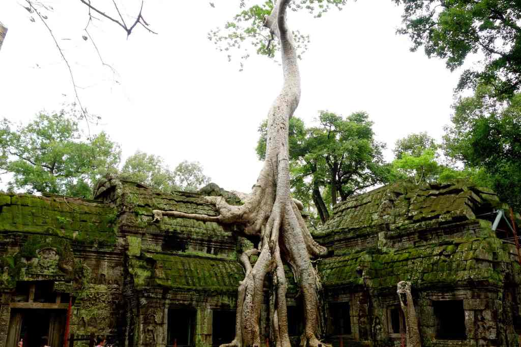 Famous tree on temple Ta Prohm