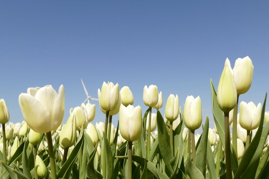 White tulips with blue sky