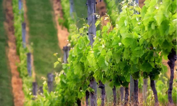 France : la production viticole devrait chuter de 18% en 2017