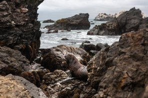 (Piura) En la Isla Foca existe una de las pocas, si no la única colonia reproductiva del lobo marino de pelo fino en nuestro país.