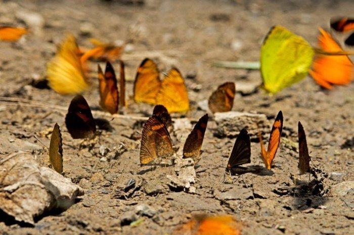 mariposas-sierra-del-divisor-sernanp