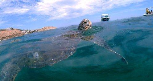 Nadar con Tortugas. Un viaje corto desde Máncora permite llegar a El Ñuro, un sitio idóneo para quienes quieran vivir una experiencia única al nadar con tortugas marinas verdes y carey, las cuales abundan por ser una zona de alimentación de estas especies. Foto: SPDA
