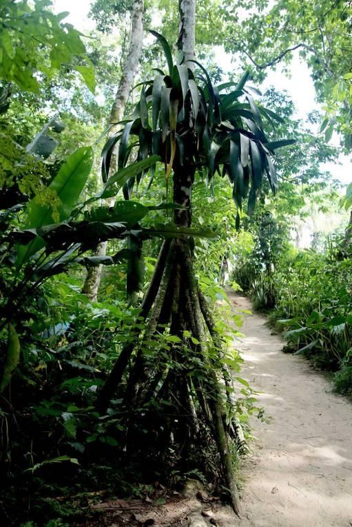 En la espesura del bosque, podemos hallar a la cashapona (Socratea exorrhiza) o la 'palmera caminante'. Se trata de una especie que puede alcanzar hasta los 25 metros de altura, y desplazarse varios metros al año. ¿Cómo lo hace? Las raíces que aparentan ser sus pies se desplazan buscando agua y los rayos del Sol.