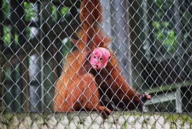 """En el CREA también existen otras especies como este mono guapo colorado (Cacajao calvus ucayalii), también conocido como """"uácari rojo"""" o """"uácari calvo"""". Al igual que otros primates, esta especie es comercializada por los traficantes de fauna silvestre en la Amazonía. El problema habitual es que una vez """"domesticados"""", muchos primates no pueden regresar a su hábitat porque no se valen por sí mismos al momento de conseguir alimentos, y están acostumbrados a la comida de casa."""