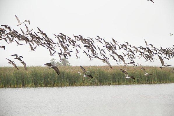 Miles de aves, como gaviotas, garzas y patos silvestres, se reúnen en esta reserva natural ubicada en el distrito de Chorrillos, uno de los más poblados de Lima Metropolitana. (Foto: Macarena Tabja)