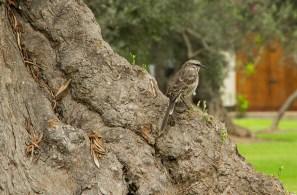 Mimus longicaudatus. Conocida como colilarga, es una de las aves que se puede ver en el Bosque El Olivar. Corre bastante rápido por el suelo, donde busca insectos, y semillas. Se encuentra en matorrales ybosques secos, así como en zonas agrícolas, en el suroeste deEcuador y del oeste delPerú (Fotos: Macarena Tabja)