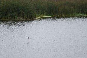 Gaviota de Franklin. Es un ave de especie migratoria por naturaleza. Debido a que nidifica en grandes pantanos de agua dulce, la población local fluctúa según la lluvia y las sequías. La mayoría de las gaviotas de Franklin pasa el invierno al sur del ecuador, en la costa oeste de América del Sur. (Fotos: Macarena Tabja)