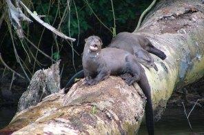 Las más de 200 especies de mamíferos registradas en el PNM representan el 43,5% de toda la fauna de mamíferos peruanos y el 5% de las especies de mamíferos a nivel mundial; 7 especies son definitivamente endémicas del país. Foto: Lisa Davenport / Sernanp