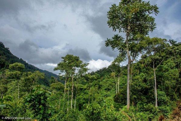 El bosque Vista Alegre Omia comprende 4 zonas: bosque muy húmedo montano bajo tropical, la mejor muestra y más extensa de estos bosques en Amazonas; bosque pluvial montano tropical, parte del cual se ha transformado en pajonales. (Michell León / APECO)