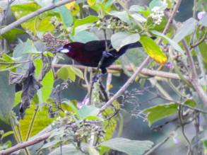 Ramphocelus carbo (macho). Foto: Roger Alvarado
