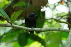 Lepidothrix coronata (macho). Foto: Archivo RNAM