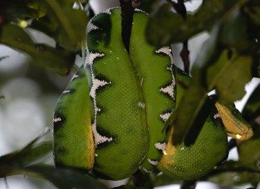Asimismo, se han registrado 65 especies de reptiles. Foto: SPDA/Spectabilis