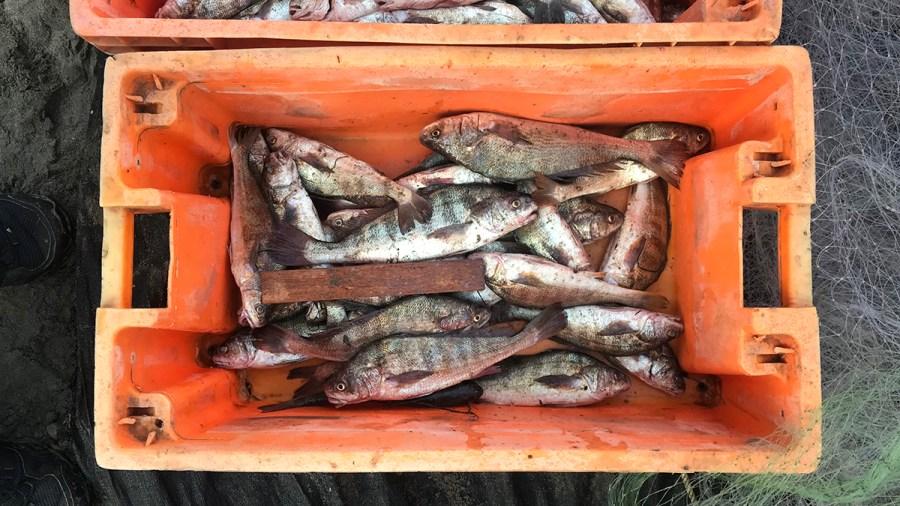Tallas minimas de captura de peces