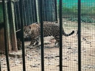 Jaguar-Zoologico-SPDA