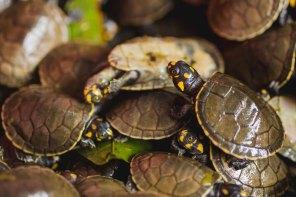 Con esta acción, que se realiza de forma anual, se garantiza la conservación de esta importante especie. Foto: Kevyn Arce