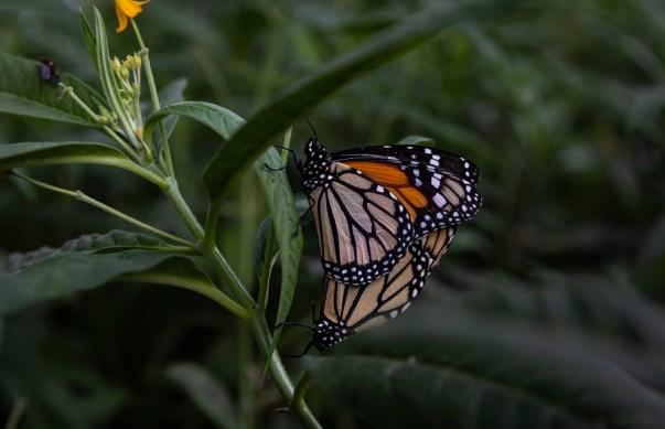 mariposa monarca - diego perez - spda3