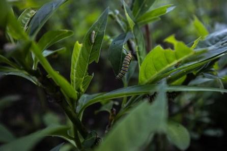 oruga - parques de lima - mariposa monarca - diego perez