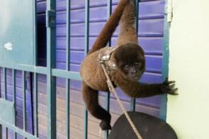 SERFOR_tráfico de monos_MG_0536_2