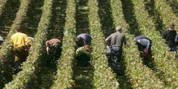 Asaja generará empleo con la vendimia en Castilla la Mancha