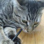 gato que muerde cables