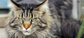 ¿Conoces la raza de gato Maine Coon?