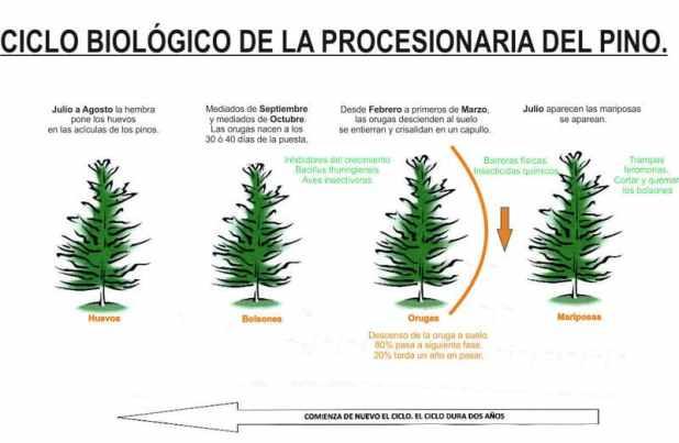 procesionaria del pino