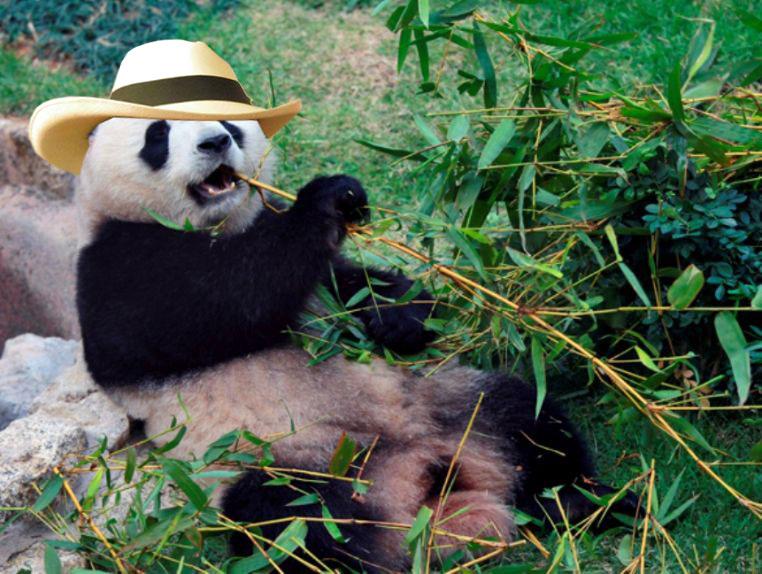 pandasombrero