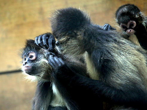 Micos y humanos segregan una hormona al realizar esta práctica que favorece las relaciones estables y duraderas.