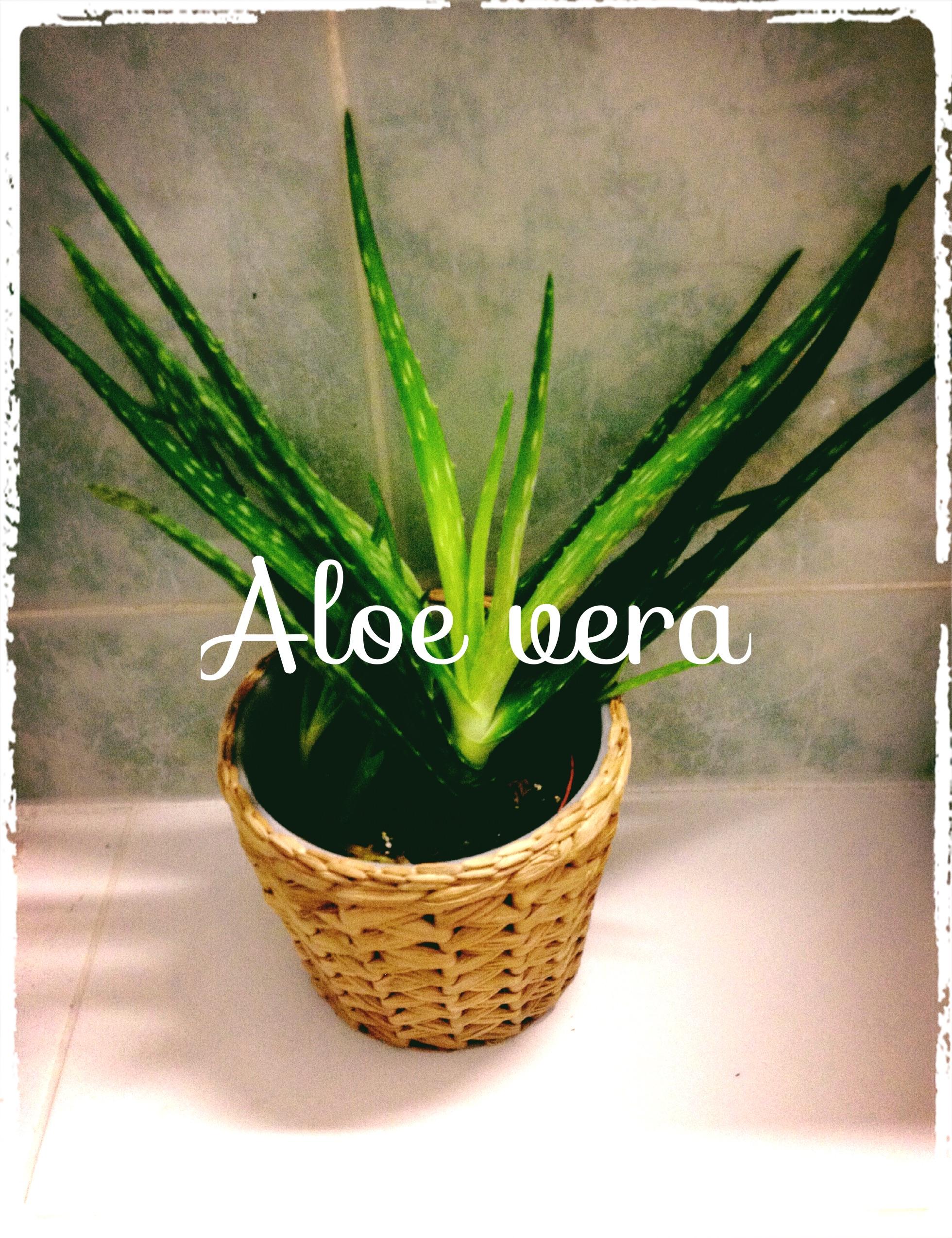You are currently viewing Le gel d'Aloe Vera: une gorgée d'éléments nutritifs pour la peau