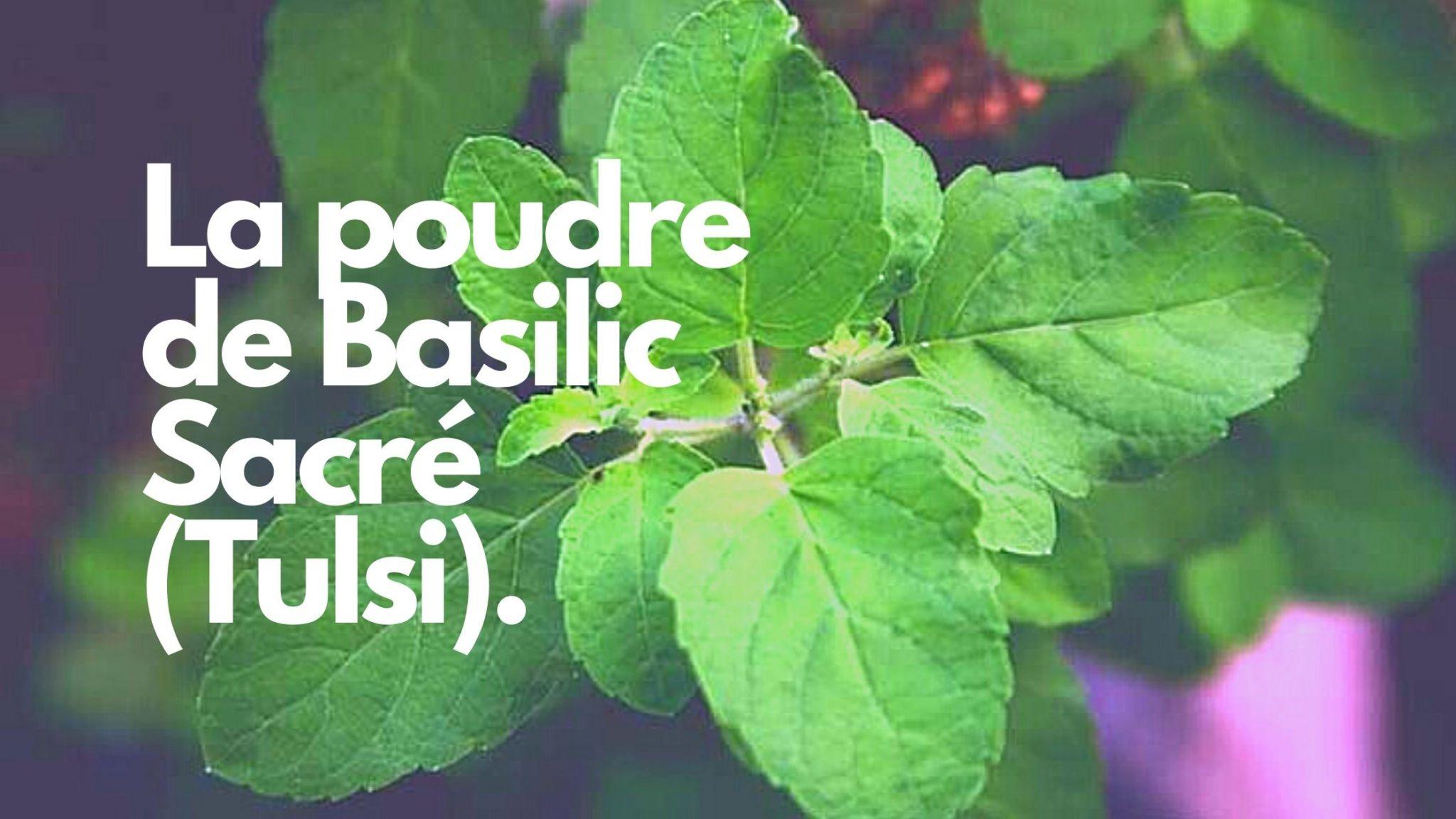 La poudre basilic sacré : un actif purifiant puissant