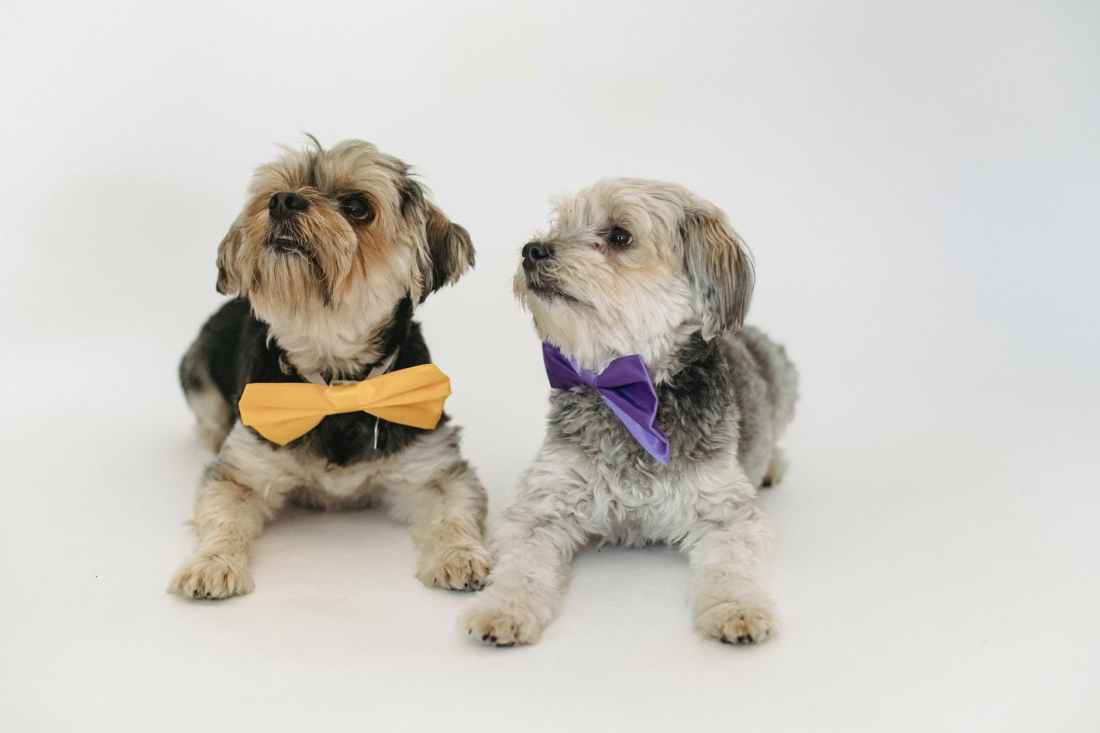purebred dogs in colorful bow ties