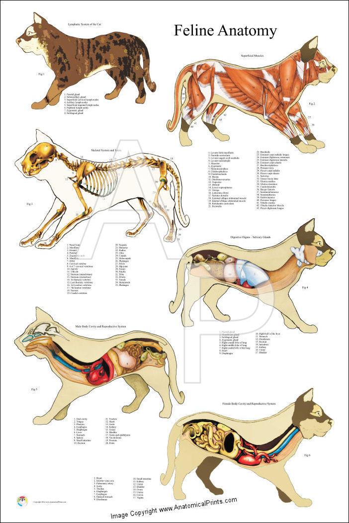Female Cat Anatomy Illustrations Charts