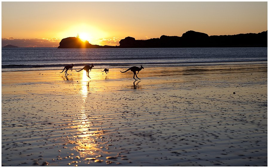 kangaroos on the beach