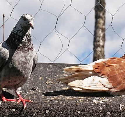 Two Pigeons and the Island By Daya Dissanayake | Adbhut.in