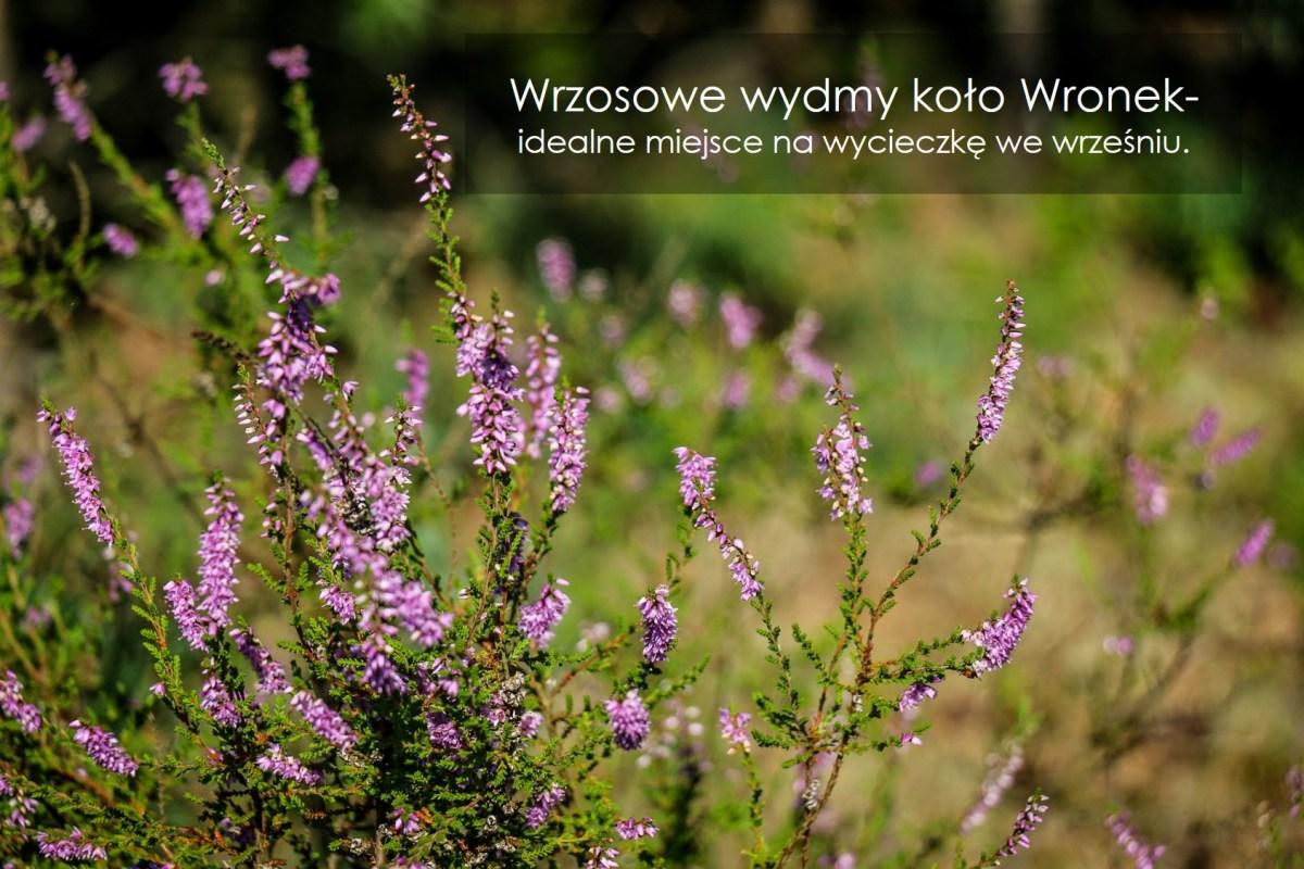 wronki_atrakcje_wrzosowe_wydmy