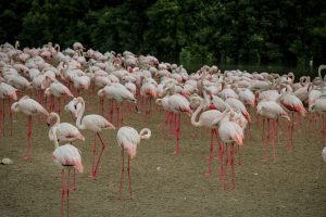 Dubaj_atrakjce_flamingi
