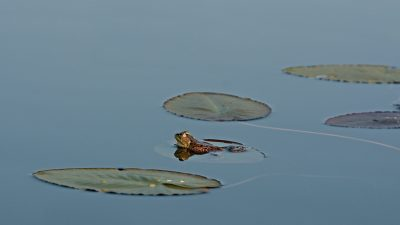 Discovering nature, such as this frog on a lillypad offer fun educational summer alternatives