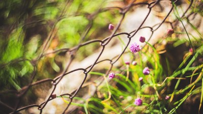 Succeed in school against the odds like, like these flowers against a chain link fence