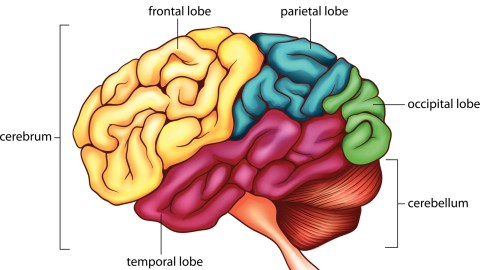 Drawing of the human brain, the origin of anxiety at school