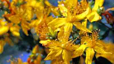 St. John's Wort may be an ineffective natural treatment for ADHD