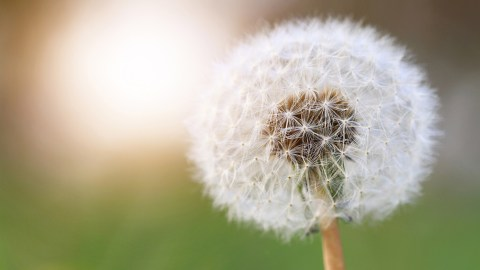 A dandelion flower representing mindful meditation in one of our best ADHD podcasts