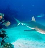 COLOMBIA. Detectan altas cantidades de mercurio en tiburones 3