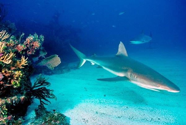 COLOMBIA. Detectan altas cantidades de mercurio en tiburones 1