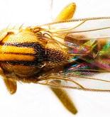 PANAMÁ. Nueva especie de mosca parásita de hormigas que cultivan hongos 3
